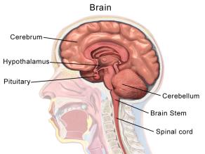 brain_anatomy_sagittal.png